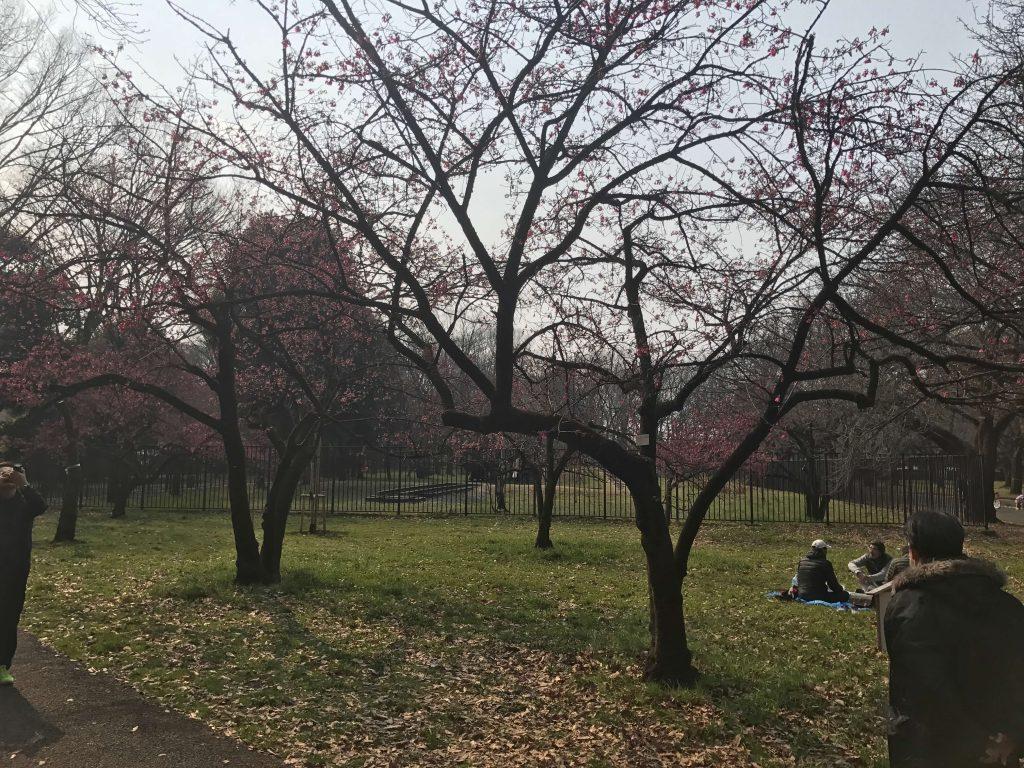 武蔵野市の小金井公園の花見スポット「桜の園」へ行こう!